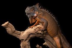 Iguana Headshot
