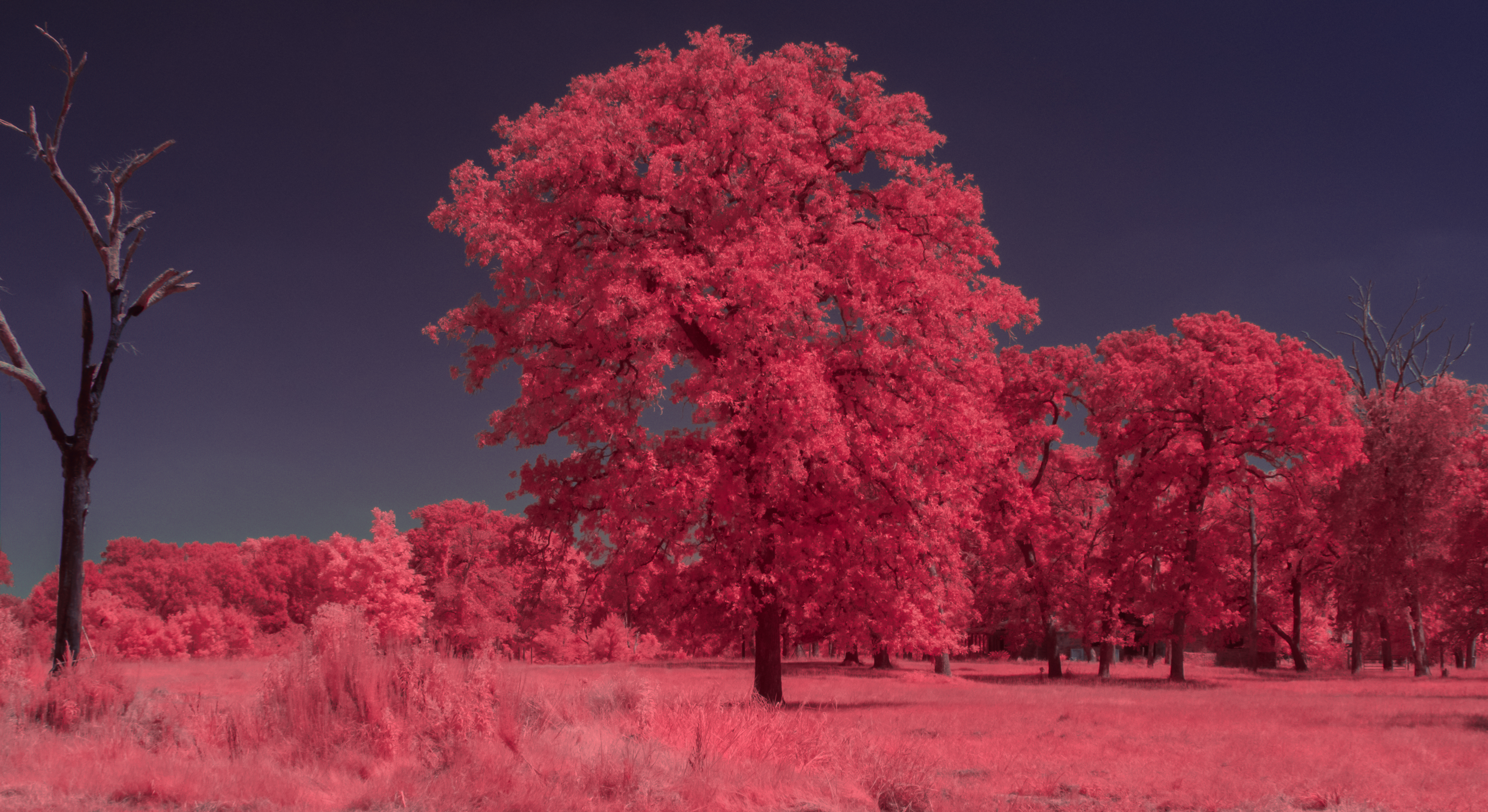 Aerochrome Tree in Infrared