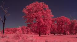 Aerochrome Tree in Infrared