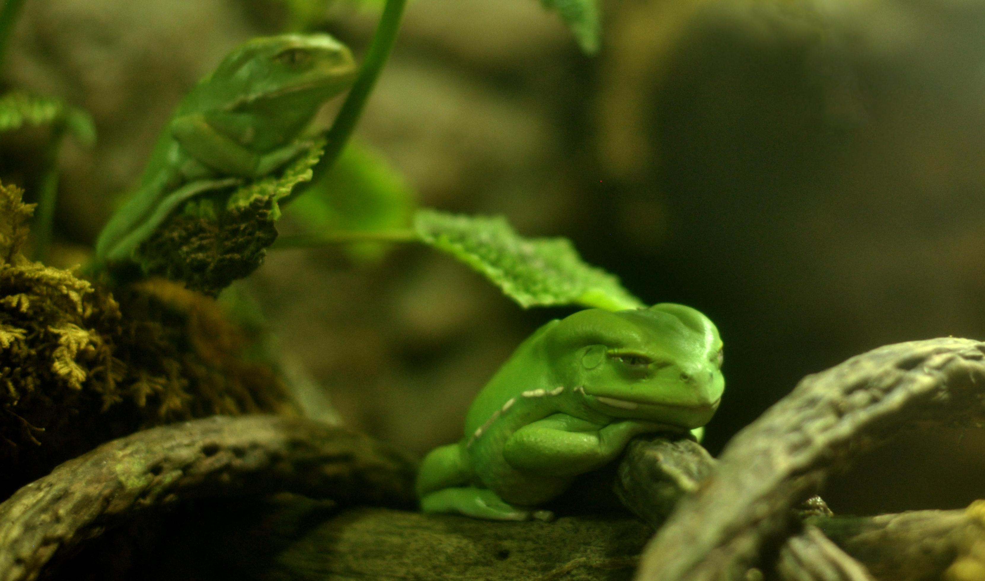 Waxy Monkey Tree Frog, June 2013