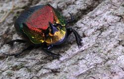 Dung Beetle, April 2013