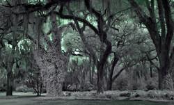 Louisiana Moss