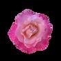 Pale Pink Rose.png