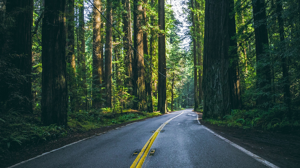 Road cuts through redwood forest in California.