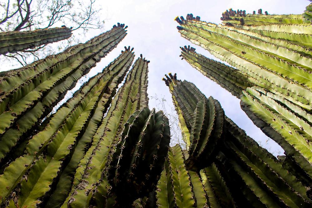 Towering cactus in Baja.
