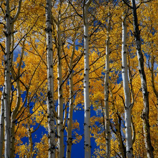 Golden Aspens. PC Donald Giannatti on Unsplash