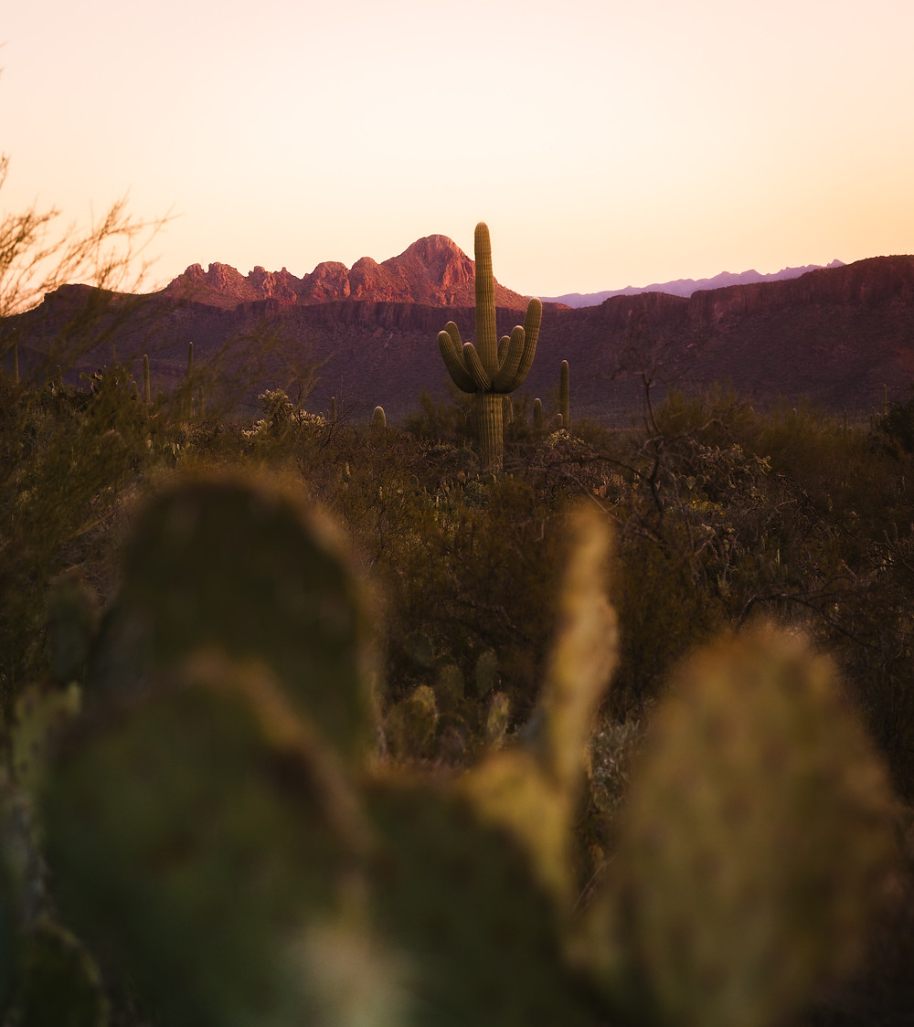 Saguaro cactus' at sunset.