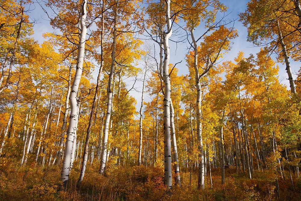 Grove of aspens in fall.