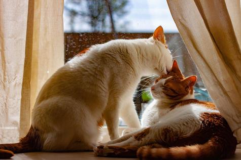 de liefde tussen twee katten