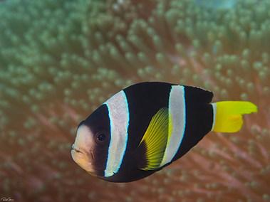 Sebae Anemonefish?