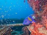 Halfmoon Angelfish