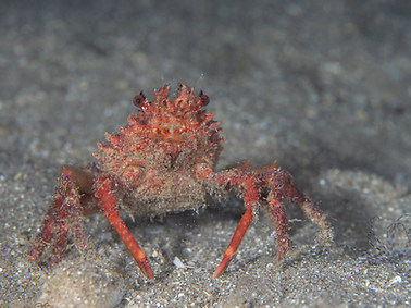 Ornamental Spider Crab