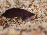 Blue-spotted Shield Slug