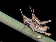 Common Maquis Grasshopper