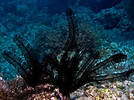 Many-rayed Feather Star - Capillaster mu
