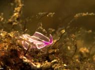 Pink Flatworm - Juvenile