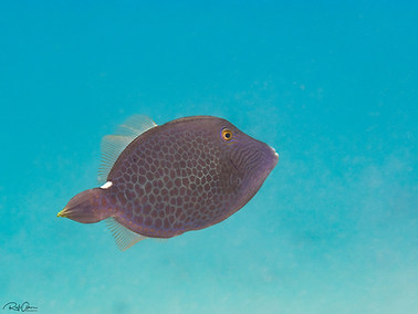 Wirenet (Honeycomb) Filefish