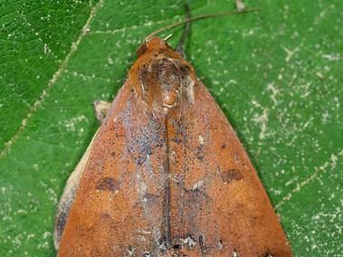Moth - Lepidoptera