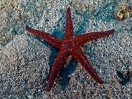 Ghardaqa Sea Star