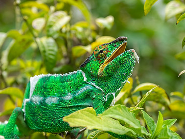 Panther Chameleon - male