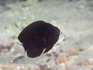 Paletail Damsel