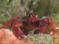 Hairless Orangutan Crab
