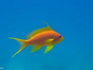 Sea Goldie - Female
