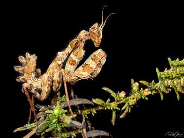 Thistle Mantis - Nymph