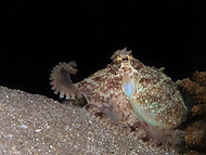 Marbled Octopus