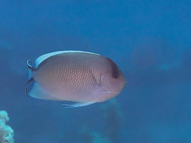 Zebra Angelfish - Female