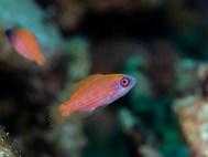 Red Sea Flasher Wrasse - Juvenile