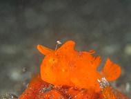Painted Frogfish -  Juvenile