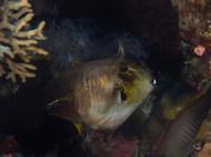 Broom Filefish