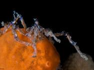 Dashed Leg Sea Spider