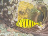 Golden Trevally - Juvenile