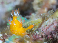 Spiky Kaloplocamus (B)