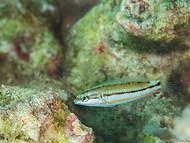 Spot-tail Wrasse - Juvenile
