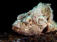 Flasher Scorpionfish