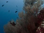 Branching Black Coral