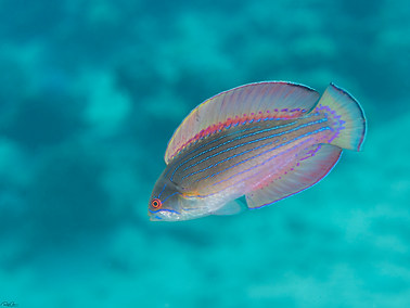 Red Sea Flasher Wrasse - Female
