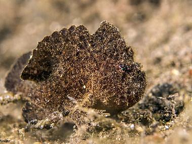 Randall's Frogfish - Dark Phase