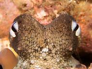 Māori Octopus