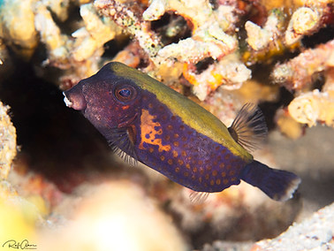 Bluetail Trunkfish - Male