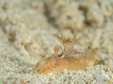 Plocamopherus indicus