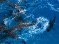 Sharks During Feeding..