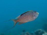 Zebra Angelfish - Male