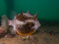 Ornate Cowfish - Female