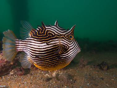 Ornate Cowfish - Female