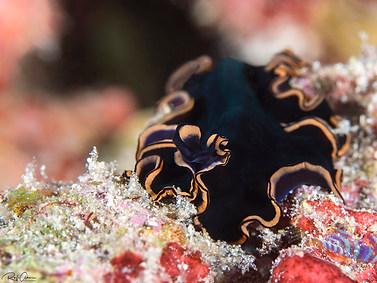 Pseudobiceros hymanae
