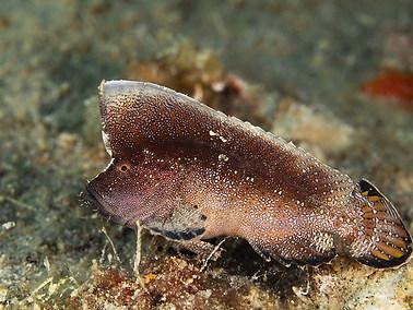 Crested Velvetfish